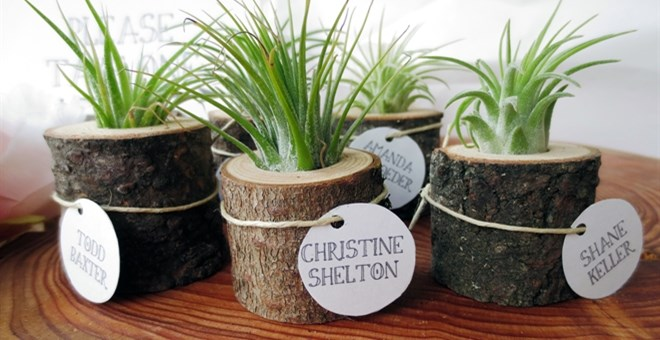 Set of two air plants in tree stumps